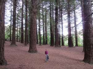 Redwood trees on the way to Te Mata peak
