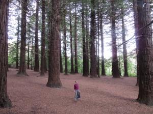 Redwood trees on the way to Te Mata peak