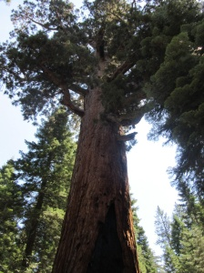 The Grisly Giant Sequoia Tree
