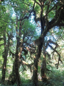 Gnarly mossy trees!