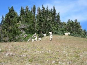 Reservoir Goats